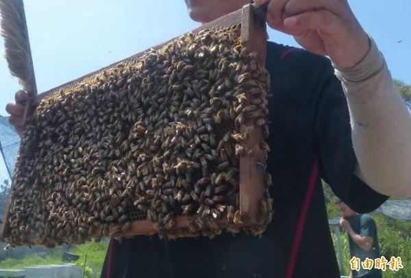 某地院法官審理檢方聲請羈押的槍砲要犯時,被告聲稱要回家養200多箱蜜蜂,「否則它們會死」,這名「愛蜂」法官竟裁定以10萬元交保,讓被告回家照顧蜜蜂,法界對此一片譁然。示意圖。(資料照,記者吳正庭攝)