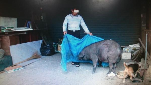 飼主將肇事的黑豬抓回。(記者葉永騫翻攝)