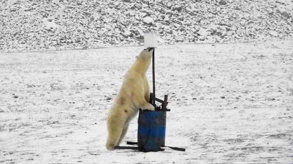 好奇的北極熊伸長了頸子嗅聞該裝置。(擷取自《西伯利亞時報》)