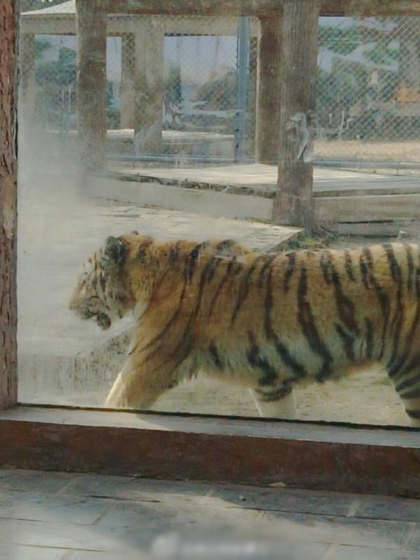 老虎園內的老虎不時來回走動。(圖擷自澎湃新聞)