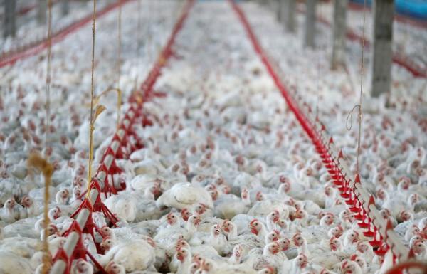 爭吵中郭男表示如果潘男敢舔雞糞就給他1萬元人民幣,結果號稱自己的雞糞是香的潘男,真的就舔了雞糞。(示意圖,路透)