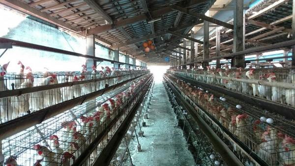 農委會防檢局今天公布確診雲林縣台西鄉1土雞場感染新型H5N2亞型高病原性禽流感,此土雞場為非開放式的復養場,總計撲殺10356隻雞。圖為示意圖。(資料照,記者劉曉欣翻攝)