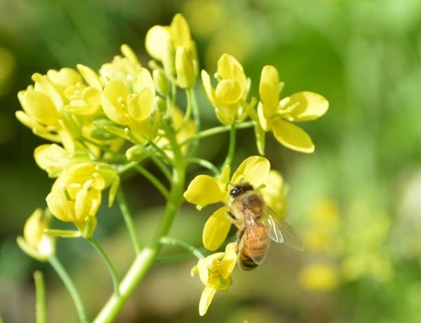 法國政府為遏止大量蜜蜂持續死亡,公告自下月1日起,禁用5種含類尼古丁的農藥。(資料照)