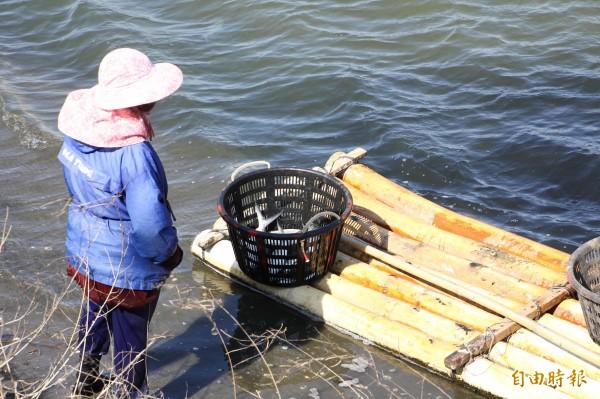 寒流造成虱目魚暴斃,嘉義縣養殖戶忙著打撈。(記者林宜樟攝)