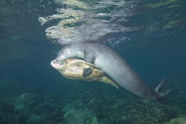 攝影師貝亞特日前意外拍下,海豹協助海龜解開釣魚線的畫面,感動許多網友。(圖擷取自bjkvideoproduction IG)