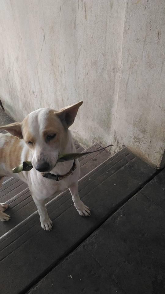 名叫「Orawan Kaewla-iat」的泰國女子經常餵食住家附近的流浪狗,有隻名叫Tau Plu的小狗,總是會帶著禮物上門,讓人感覺牠是想藉此報恩。(圖擷自「อรวรรณ แก้วละเอียด」臉書)