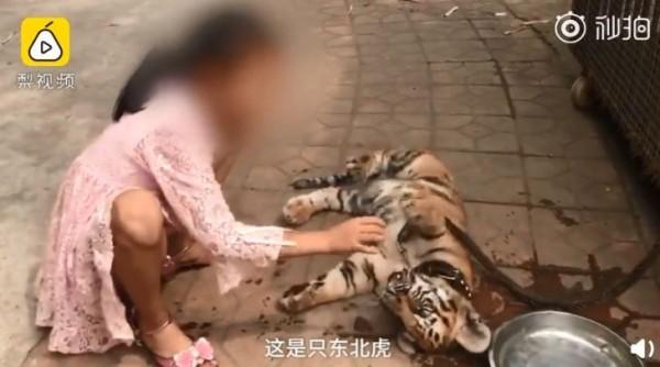 小女孩自小老虎出生後就一直陪伴在牠身邊,和小老虎的感情融洽。(圖翻攝自《梨視頻》)