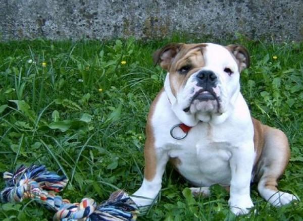 苏格兰有名22岁男子,7日时惨遭一只斗牛犬咬掉生殖器,目前仍在昏迷抢救中。非肇事斗牛犬。(翻摄自维基百科)