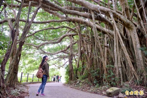 不僅台東鸞山有「會走路的樹」,牡丹鄉的大梅社區也有一座百年白榕園,不斷衍生的氣根生長成林,相當壯觀。(記者許麗娟攝)