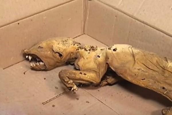 民眾發現怪異的動物屍體,懷疑就是傳說中的吸血怪物「卓柏卡布拉」。(圖片擷取自鏡報)