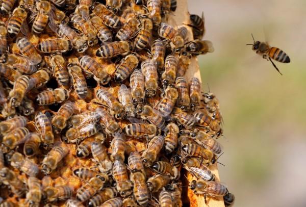 南非開普敦有處釀酒區內有逾百萬隻蜜蜂中毒死亡,蜂農協會懷疑元兇是因葡萄酒業者使用殺蟲劑芬普尼(Fipronil),但目前確且成因仍有待調查。(路透)