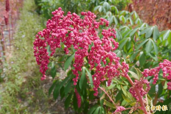 紅藜是營養份高的植物。(資料照,記者王峻祺攝)