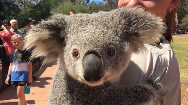 澳洲維多利亞省(Victoria)西南部近日頻傳野生動物遭殘殺事件,而警方於今(10日)表示,又有無尾熊遭割雙耳慘死在公路上,目前警方正全力緝凶。(法新社)