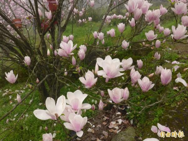 木蓮花因為花形與蓮花相似,故而得名,又別名「辛夷花」。略帶香氣,外型典雅,經常用於供佛上。(資料照)