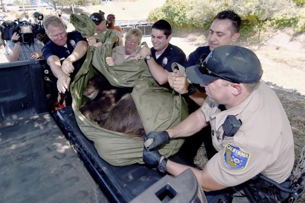 警方對黑熊施打麻醉劑,才讓黑熊安靜下來。(美聯社)