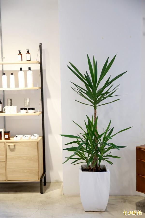 使用綠色植栽搭配簡約盆器,可以讓空間更有自然感。(記者臺大翔攝)