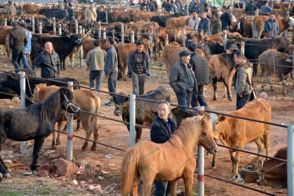 中國繼遼寧瀋陽出現非洲豬瘟、黑龍江羊炭疽橫行後,內蒙古又傳出牛炭疽疫情,目前已有9隻發病牛死亡,8人感染疑似皮膚炭疽。牛群示意圖。(路透)