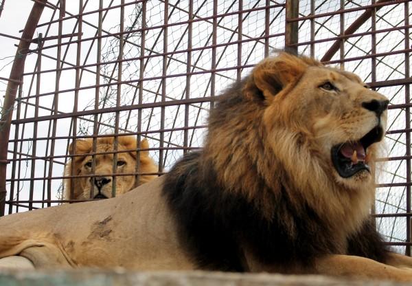 宏都拉斯有位男子,日前到首都德古西加巴的一家动物园「 Rosy Walther Zoo」游玩,但却白目,伸手挑衅笼内狮子,惨被狠咬。非当是狮子。(欧新社-埃菲社)