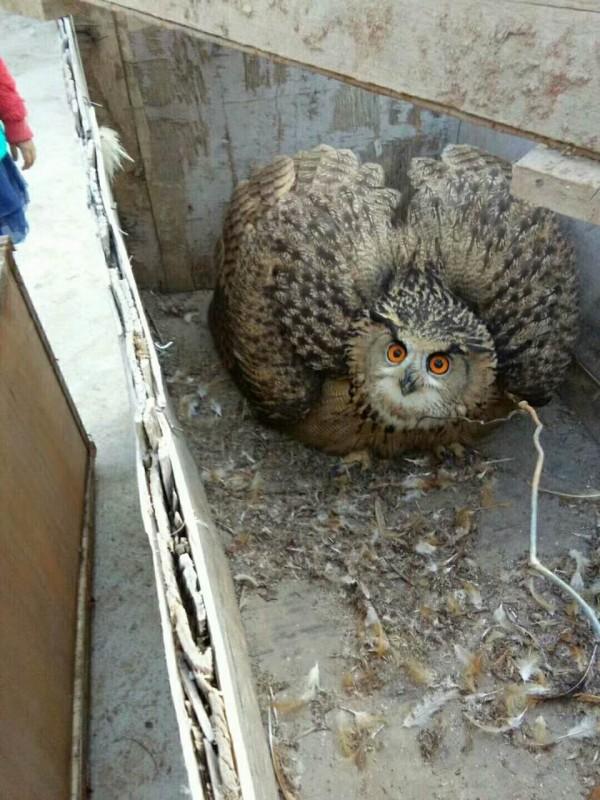 貓頭鷹被發現縮在雞舍的角落。(圖擷取自每日人物)