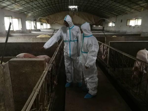 中国自8月以来爆发猪瘟,今天又增加上海及江西这2个行政区划。(中央社)