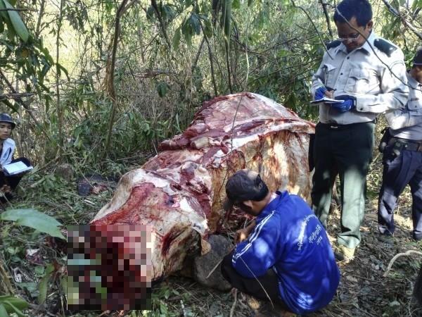 大象屍體被剝皮之後屍首慘不忍睹。(美聯社)