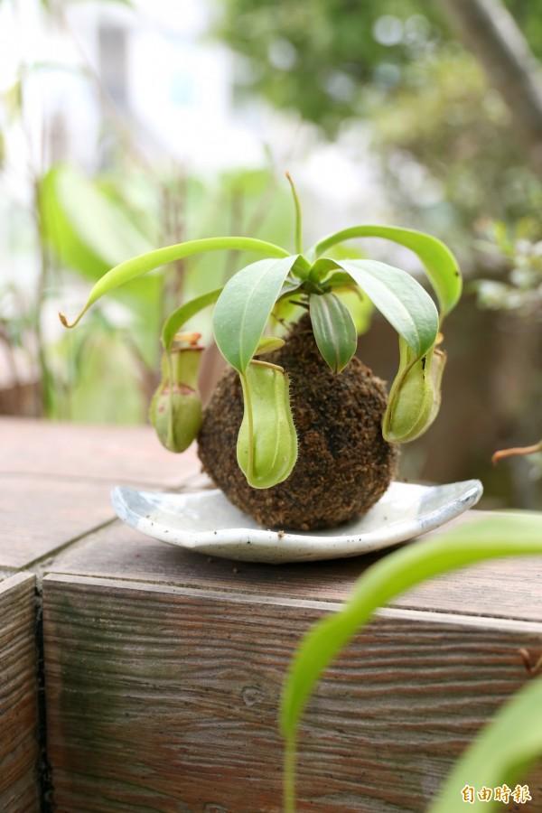 DIY製作豬籠草苔球,讓你省去擺放花盆的空間,在家輕鬆妝點綠意。(記者臺大翔攝)