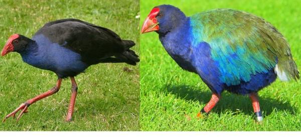 紐西蘭 News: 紐西蘭獵人認錯「鳥」 誤殺瀕危鳥類