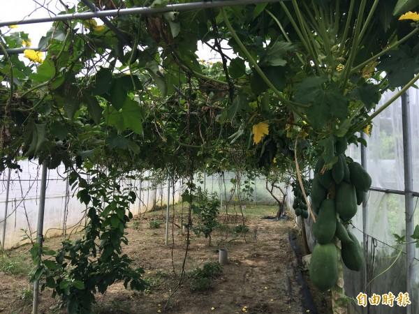 奧莉薇農莊園區網室栽培有機無毒蔬果。(記者蔡宗勳攝)