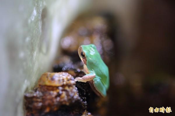 台灣的中國樹蟾,由於體型迷你、可愛,是常見的入門「寵物蛙」。(記者李惠洲攝)
