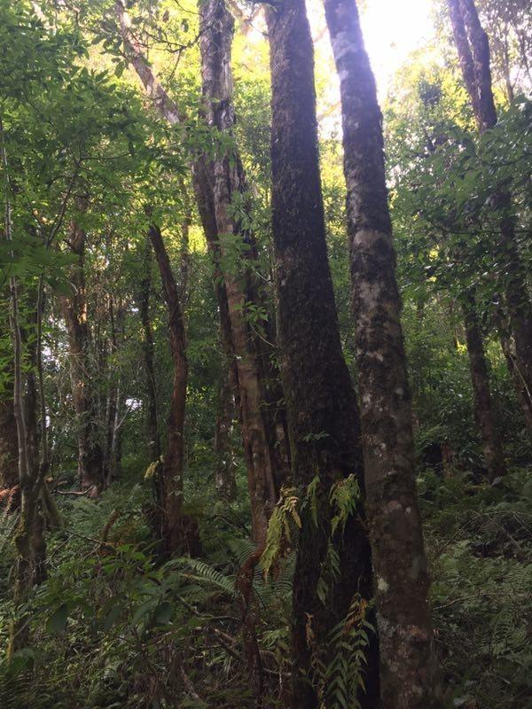黑猴棲息處樹木參天。(圖擷取自《澎湃新聞》)