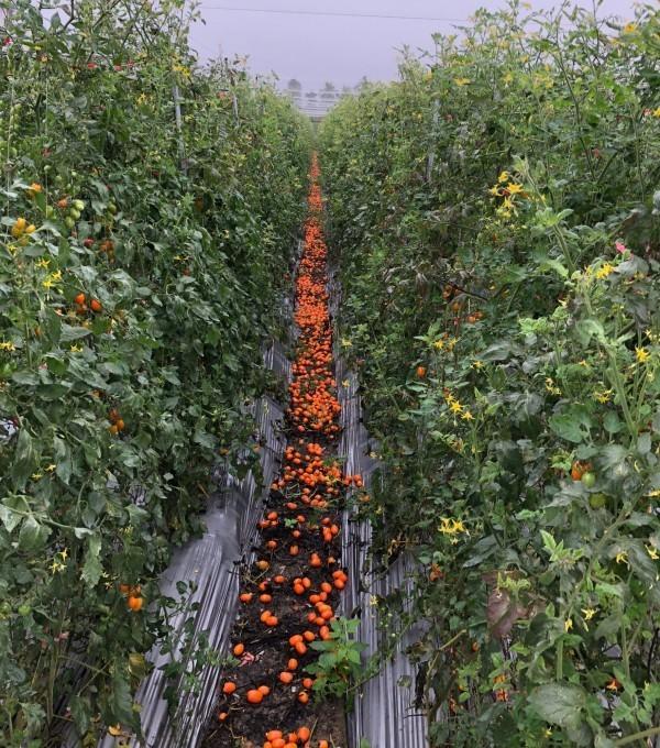 高雄市橙蜜香番茄落果嚴重,災害損失至少3成。(記者陳文嬋翻攝)