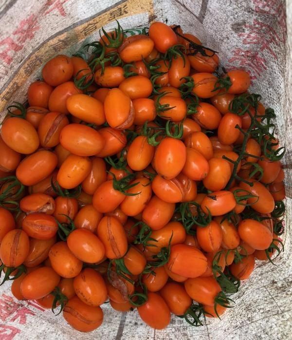 高雄市橙蜜香番茄裂果嚴重。(記者陳文嬋翻攝)