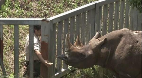世界上最高齡黑犀牛歡度51歲生日(圖擷至NHK)