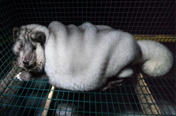 狐狸遭灌食至嚴重肥胖的狀態。(擷取自動物權利團體「Furfree」網站)