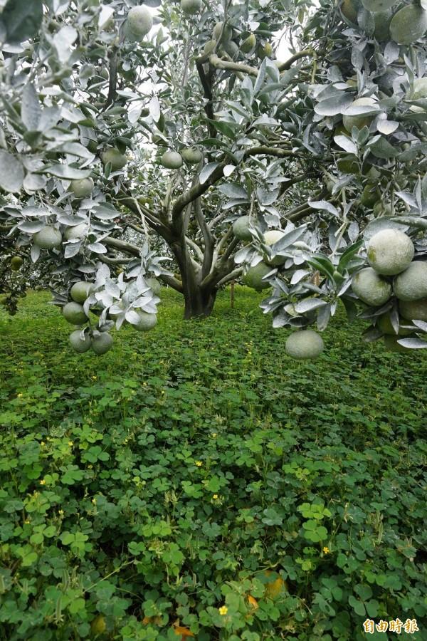 嘉義縣新港果樹產銷第6班成員在茂谷柑果樹周邊種植酢漿草,可保持土壤濕度、抑制雜草生長。(記者曾迺強攝)