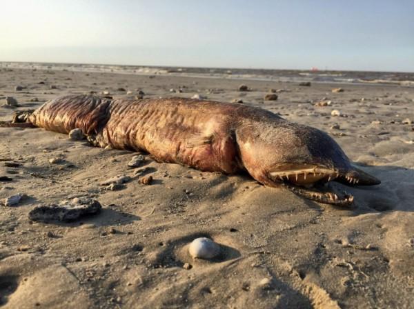 有保育團體人士在風災過後前往海邊視察時,在海灘上驚見一隻神秘海洋生物屍體,該生物無眼,擁有利齒。(圖擷自twitter)