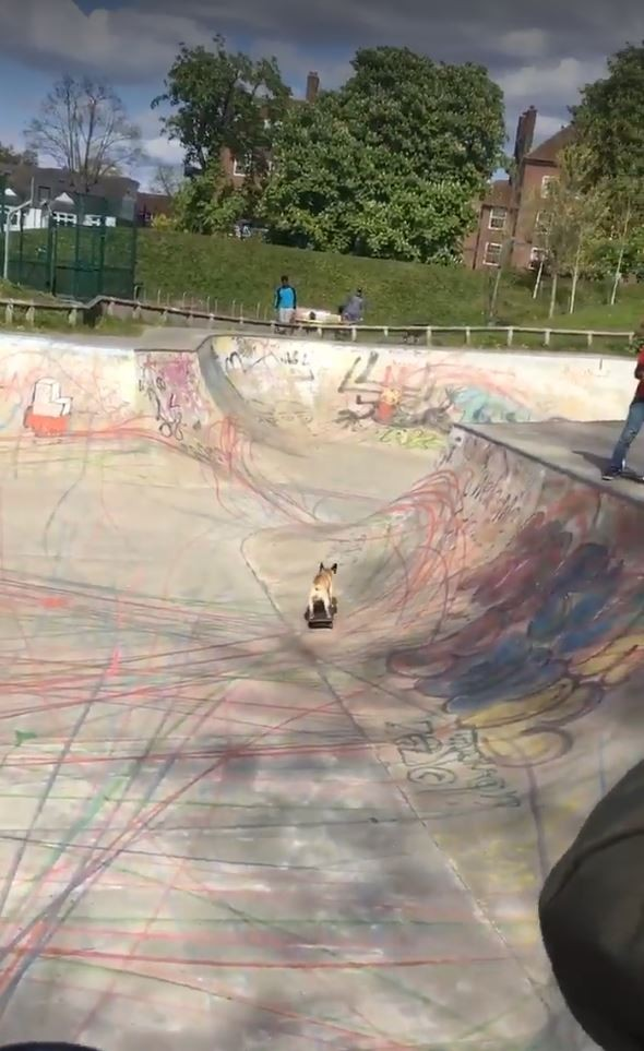 法國鬥牛犬在極限公園秀出滑板技巧。(圖擷自臉書)
