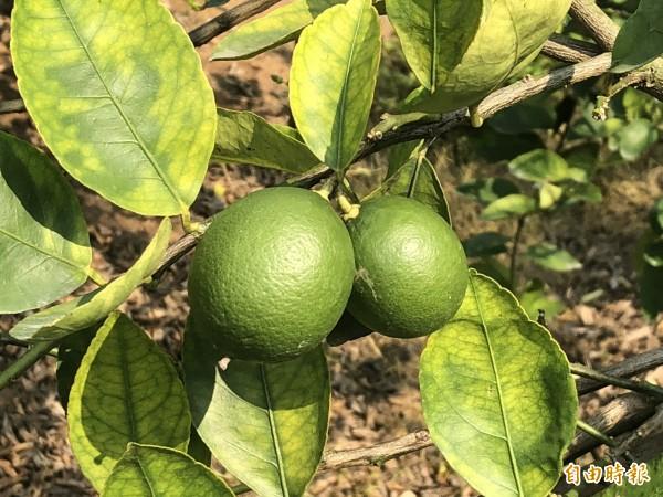 近來網路上流傳「檸檬可以殺死癌細胞」的說法,提及檸檬可破壞12種癌變細胞引發的惡性腫瘤,衛生福利部食品藥物管理署今日對此否認,駁斥這則訊息毫無科學根據。(資料照)