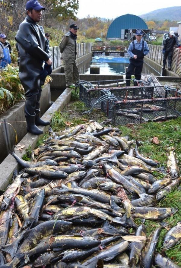 鮭魚卵價格高漲,日本北海道出現「鮭魚卵小偷」,連續犯下多起偷卵「棄屍」事件。(圖擷取自日本網站)