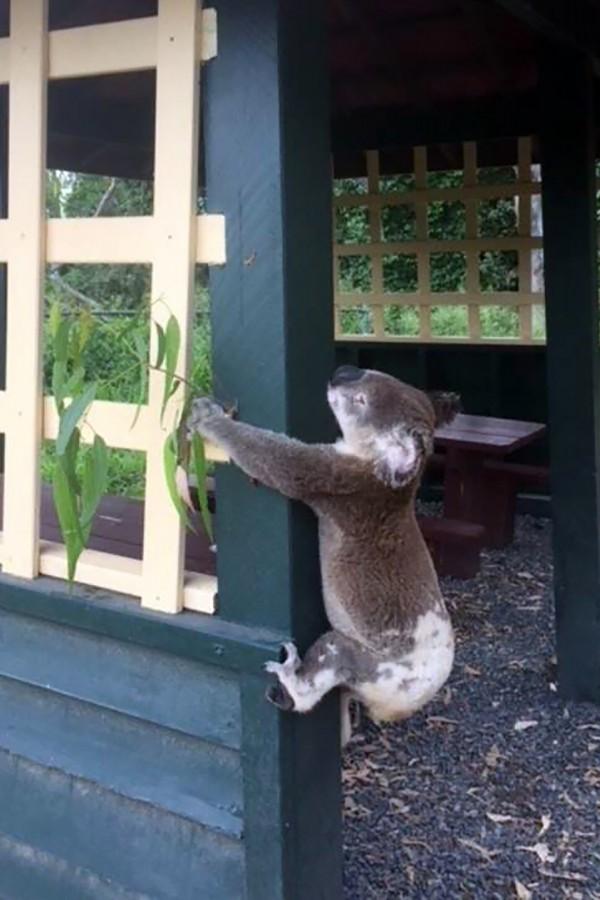 引發全球暴怒的「被釘」無尾熊照,今日死因曝光,牠疑似遭到車子撞擊,並拖行一段距離後死亡。(法新社)