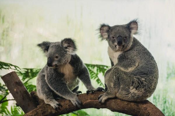 澳洲汽車女駕駛人,本月20日開車到阿得雷德山工作,途中看見兩隻在路上打架的無尾熊。示意圖。(歐新社)