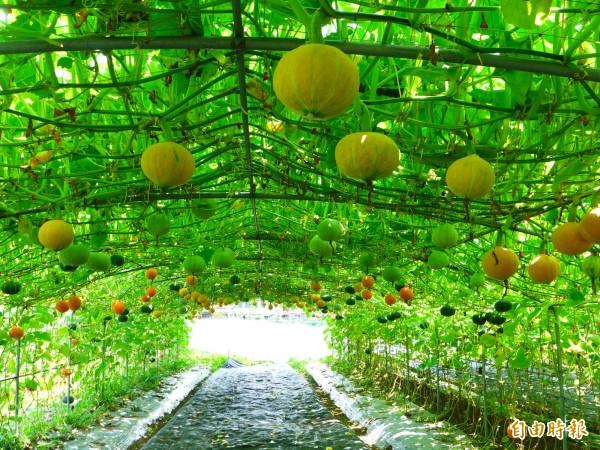 中國大媽1週吃4次南瓜,前後共吃了快20個南瓜,致全身皮膚變黃。圖為南瓜隧道,與新聞無關。(資料照)