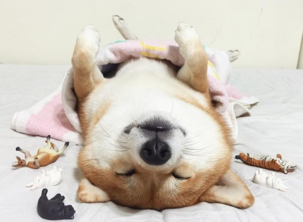 柴犬咩妹懶洋洋躺在床上的可愛模樣,融化網友的心。(圖擷自yumiliu526 IG)