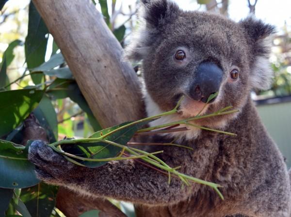一隻名叫愛琳(Irene)的2歲母無尾熊,為了尋找配偶逃出動物園柵欄,最後被動物園管理員發現卡在院區附近的樹上。(法新社)