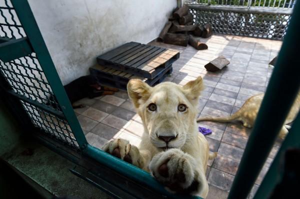 墨西哥1名飼主在自家樓頂飼養3隻獅子,其中2隻為罕見的白獅子。圖為其中一隻白獅。(法新社)