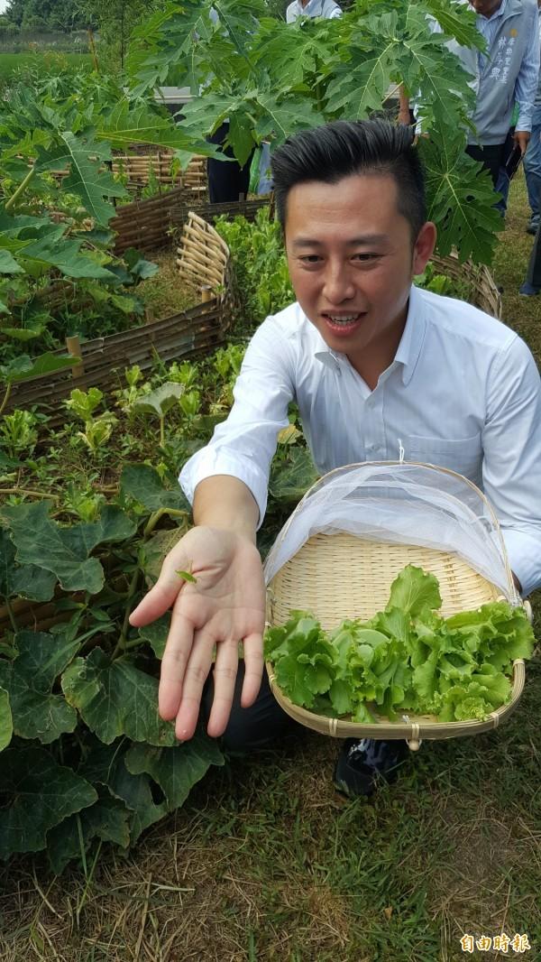 新竹市長林智堅採收生菜。(記者蔡彰盛攝)