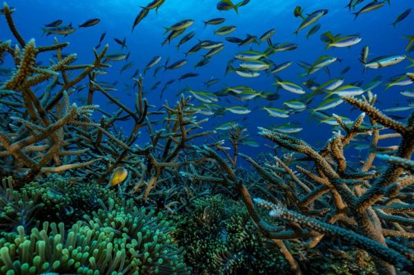 最近有科學家研究研究後指出老鼠會捕食棲息在島上的海鳥,而海鳥的糞便卻是珊瑚礁養分的來源;科學家認為只要消滅島上的鼠患,有助於挽救瀕危的珊瑚礁。(法新社)