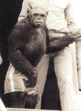 近期有科學家宣稱,人猩混種距今約100年前曾誕生過,卻因為科學家擔心引發倫理問題,將其殺死。圖為一度被懷疑是人猩混種的「奧利弗猩猩(Oliver the chimpanzee)」。(圖截自維基百科)