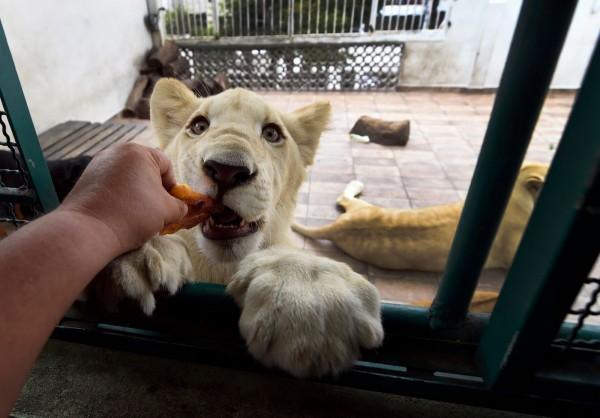 飼主解釋,獅子經過飼養後變得相當溫馴。(法新社)