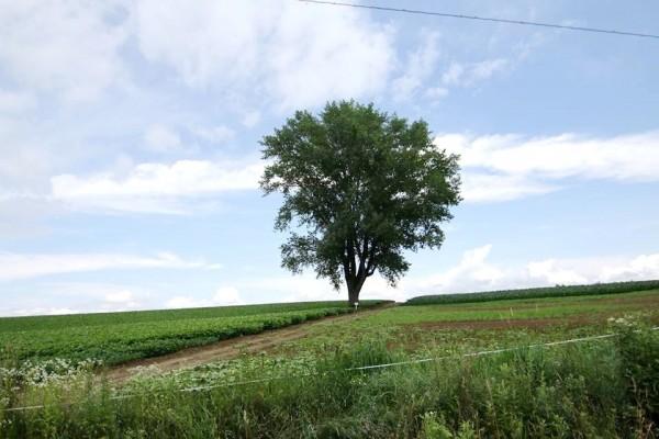 北海道美瑛知名觀光景點「哲學之木」24日遭地主拉倒,就此消失於世。圖為哲學之木原本挺立的英姿。(讀者Derek Wu提供)